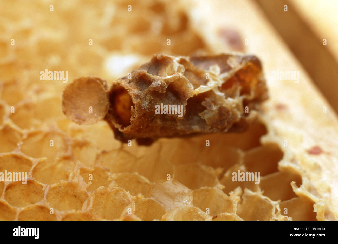 honey bee, hive bee (Apis mellifera mellifera), queen cell for raising a queen bee, Germany - Stock Image