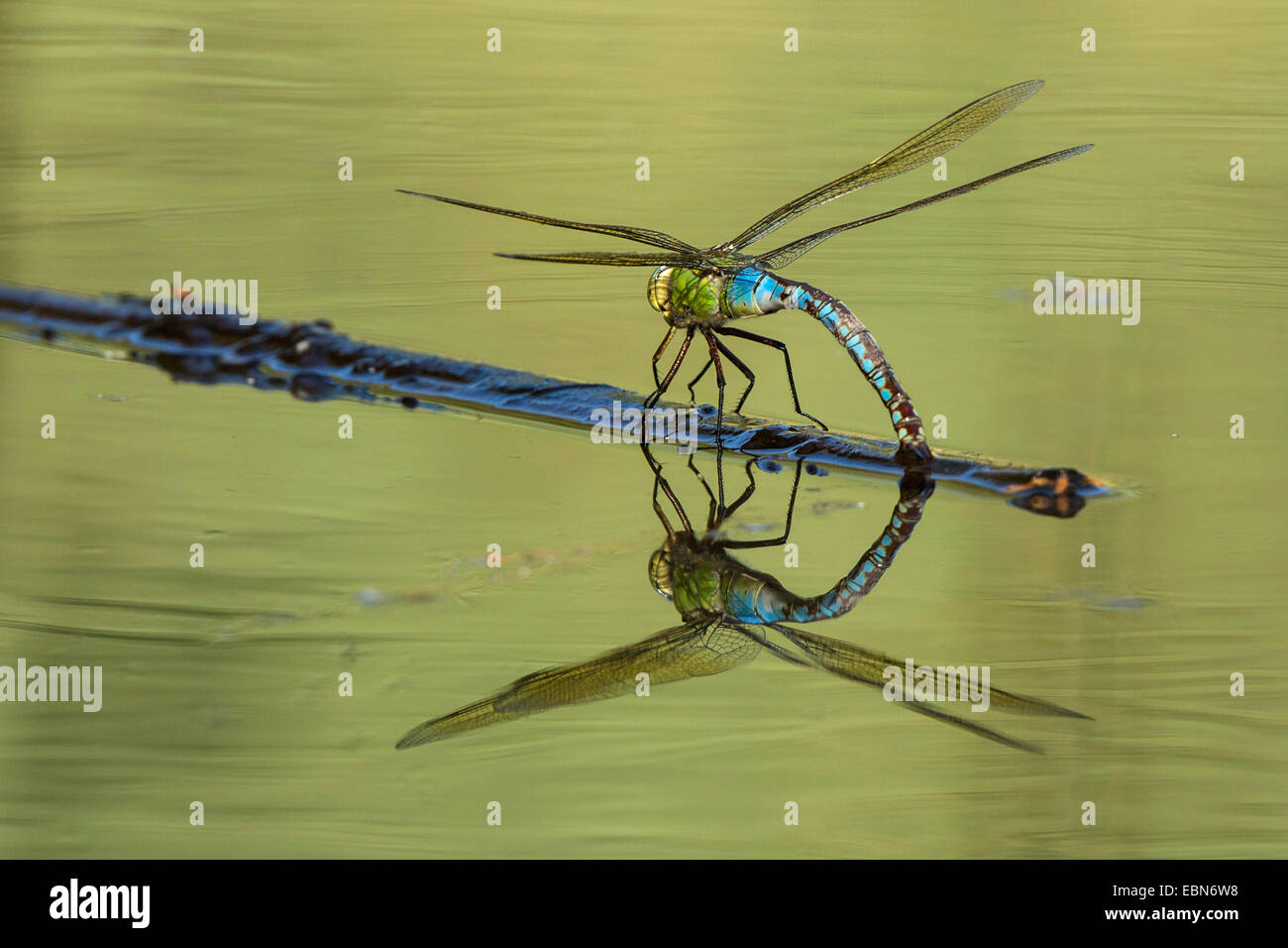 emperor dragonfly (Anax imperator), laying eggs with mirror image, Germany, Bavaria - Stock Image