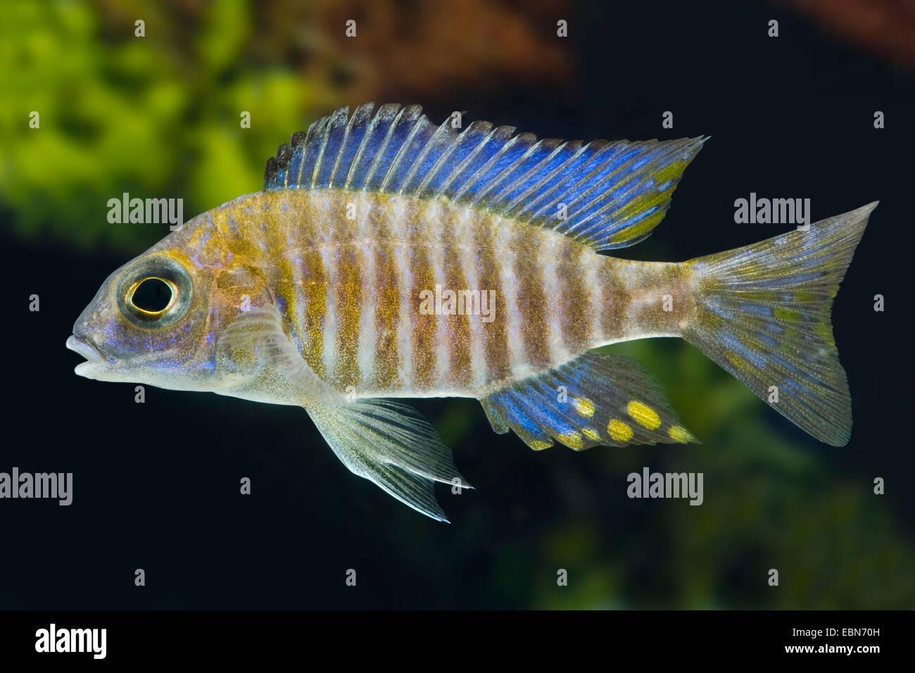 Northern Midnight-Aulonocara (Aulonocara ethelwynnae), swimming - Stock Image