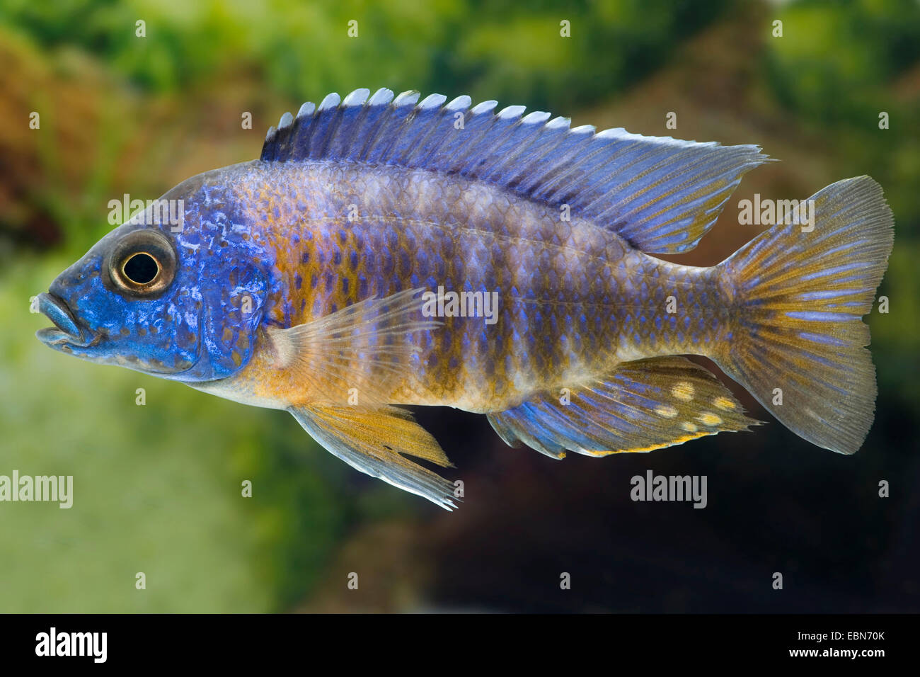 Red-shoulder Malawi peacock cichlid, Aulonocara Fort Maguire (Aulonocara hansbaenschi), breed Chiloelo - Stock Image