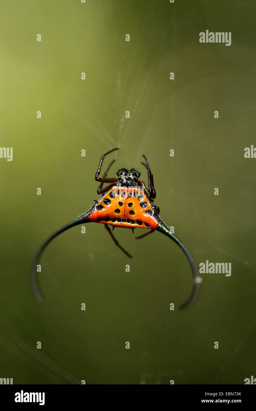 Curved Spiny Spider (Gasteracantha arcuata), sitting in the spider web, Malaysia, Sabah, Danum Valley - Stock Image