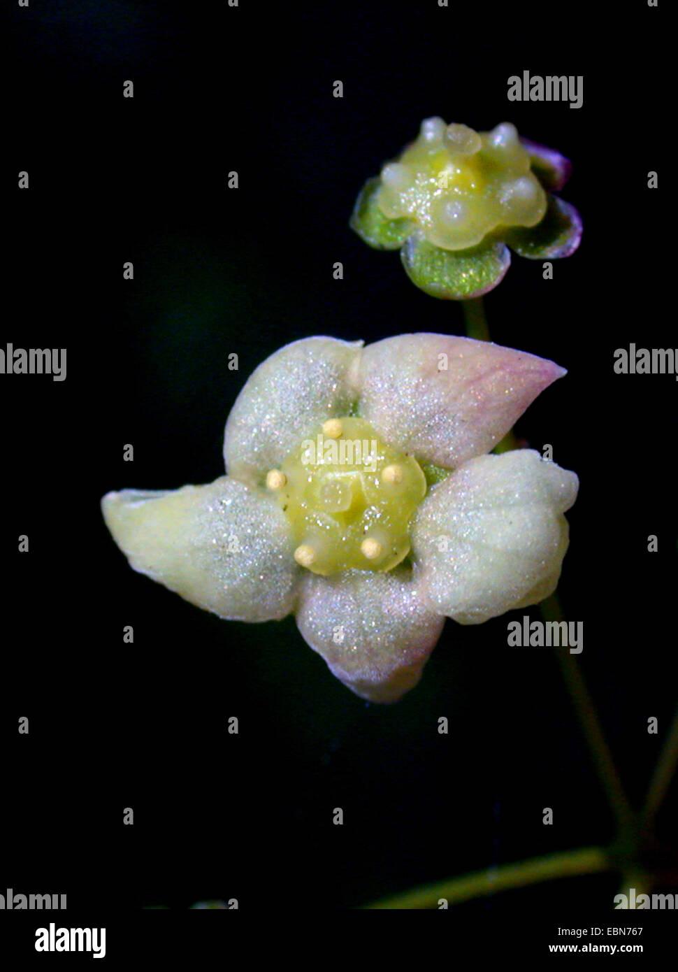 Dingle dangle tree (Euonymus planipes), flower - Stock Image