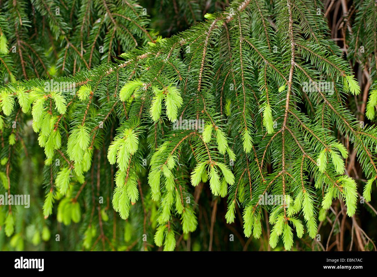 Norway spruce (Picea abies), fresh shootings, Germany - Stock Image