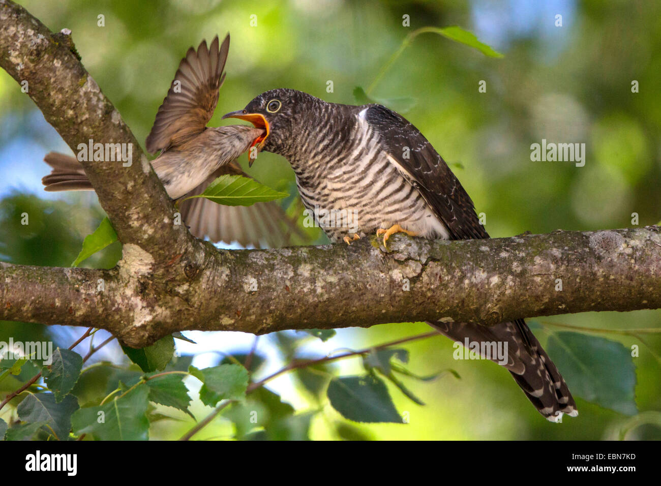 Eurasian cuckoo (Cuculus canorus), Spotted Flycatcher feeding young cuckoo, Germany, Bavaria, Lake Chiemsee - Stock Image