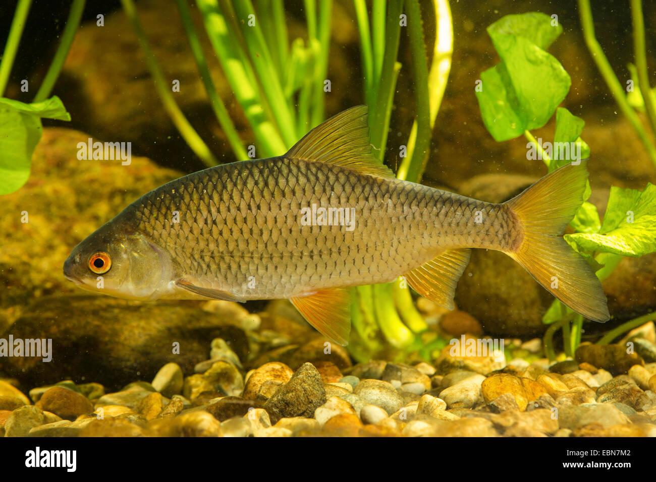 roach, Balkan roach (Rutilus rutilus, Leuciscus rutilus), swimming - Stock Image