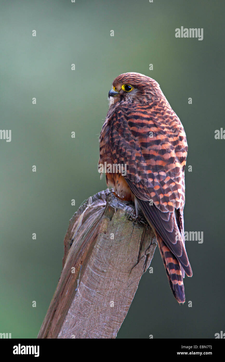 common kestrel (Falco tinnunculus), female sitting at a pole, Canary Islands, La Palma - Stock Image