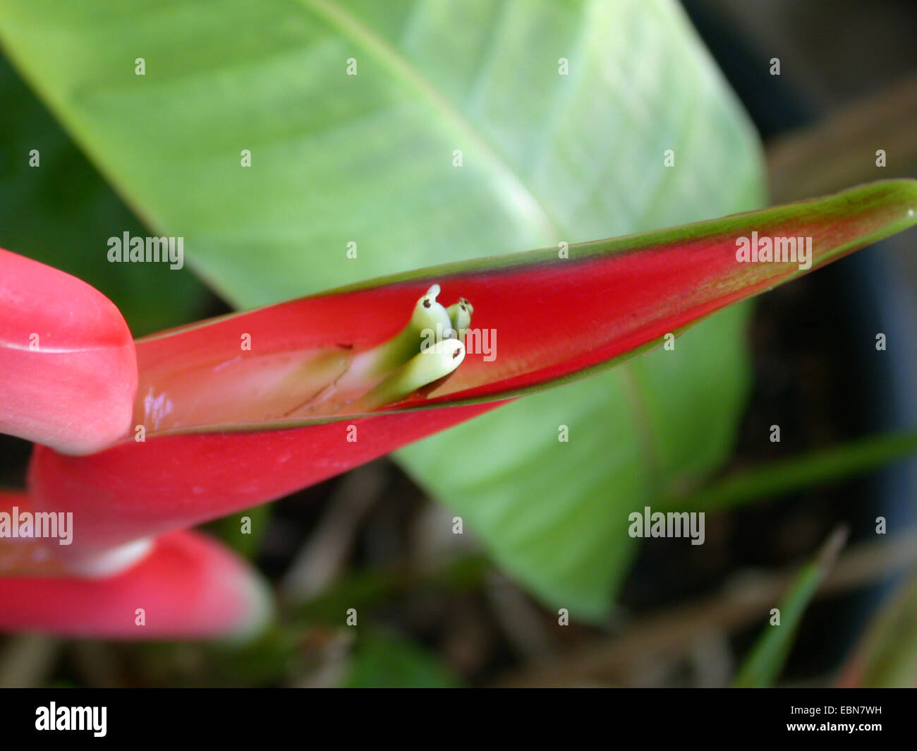 heliconia (Heliconia stricta), detail of an inflorescence - Stock Image