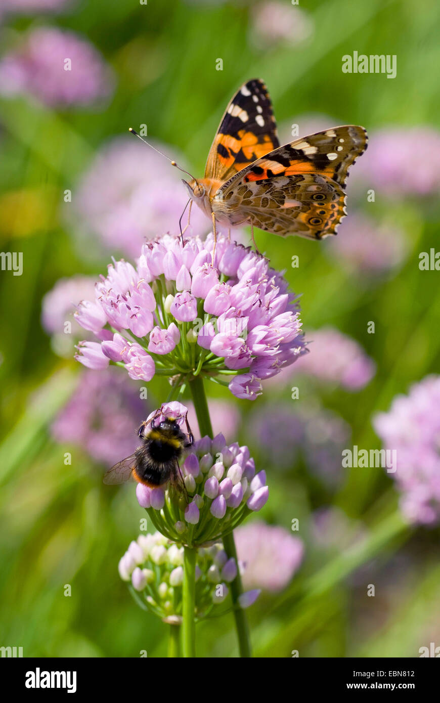 painted lady, thistle (Cynthia cardui, Vanessa cardui), inflorescence eith painted lady, Germany - Stock Image