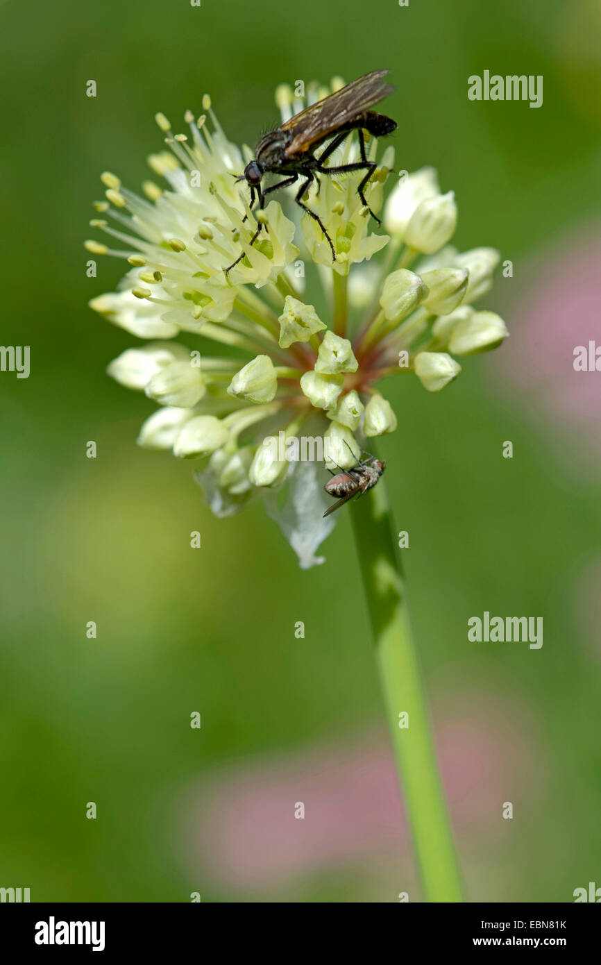Long-rooted garlic, Victory Onion (Allium victorialis), inflorescence with pollinators, Germany - Stock Image