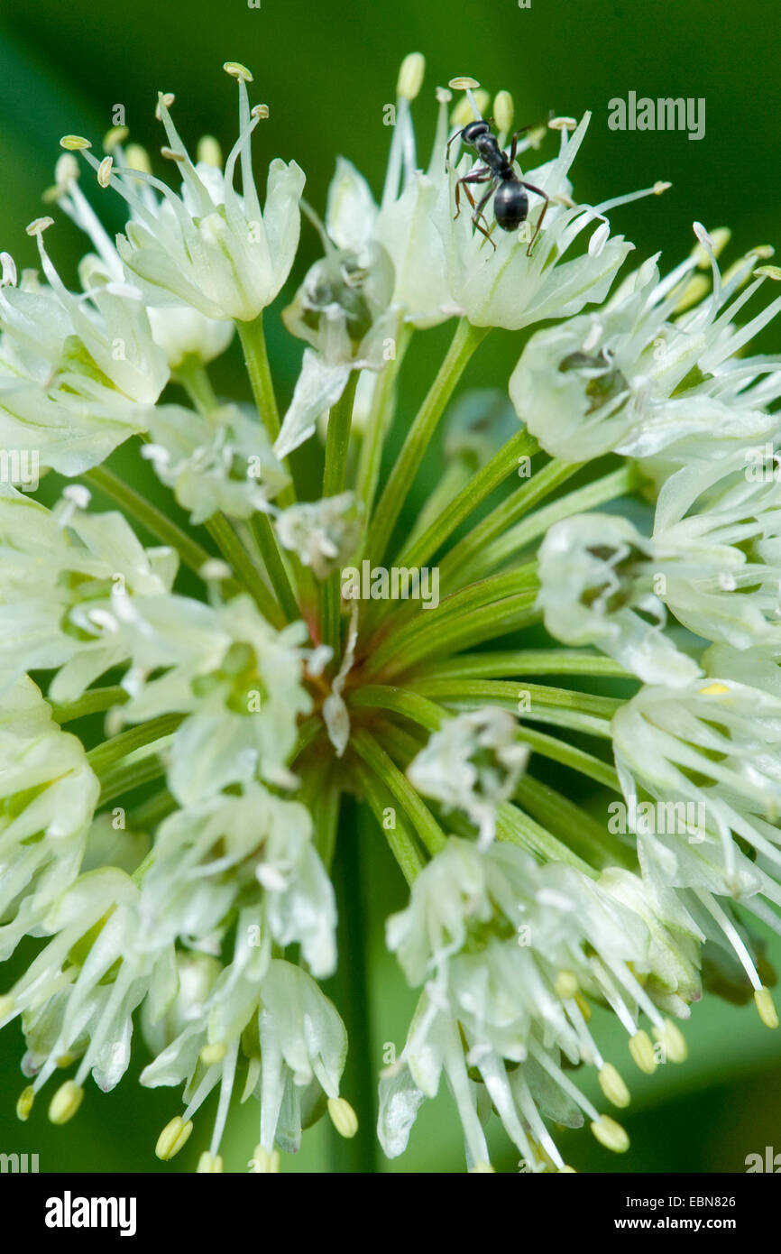 Long-rooted garlic, Victory Onion (Allium victorialis), inflorescence with ant, Switzerland, Schynige Platte - Stock Image
