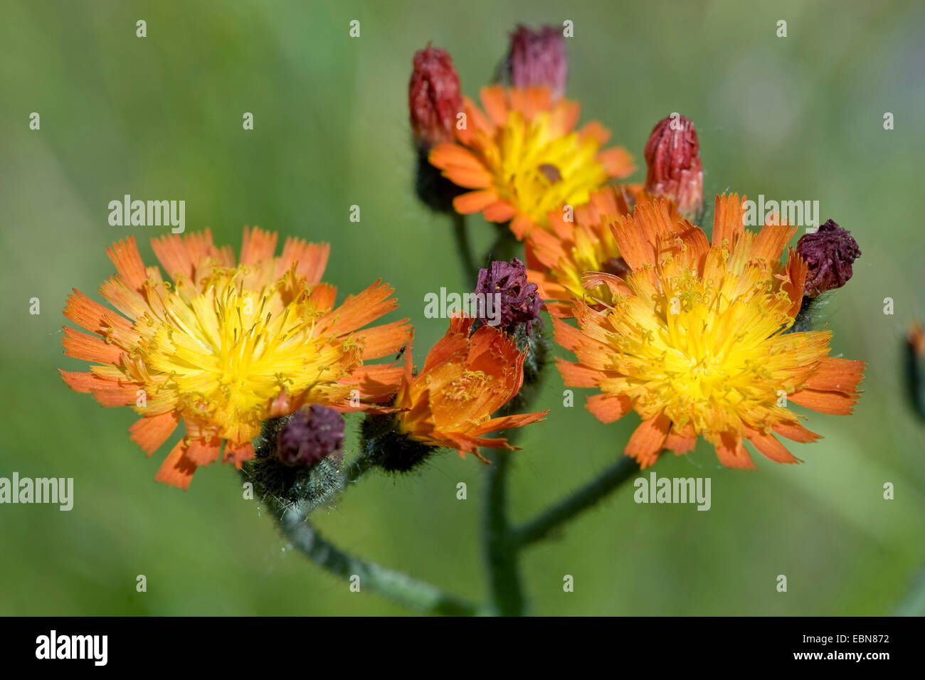 grim-the-collier, orange hawkweed (Hieracium aurantiacum), blooming, Germany - Stock Image