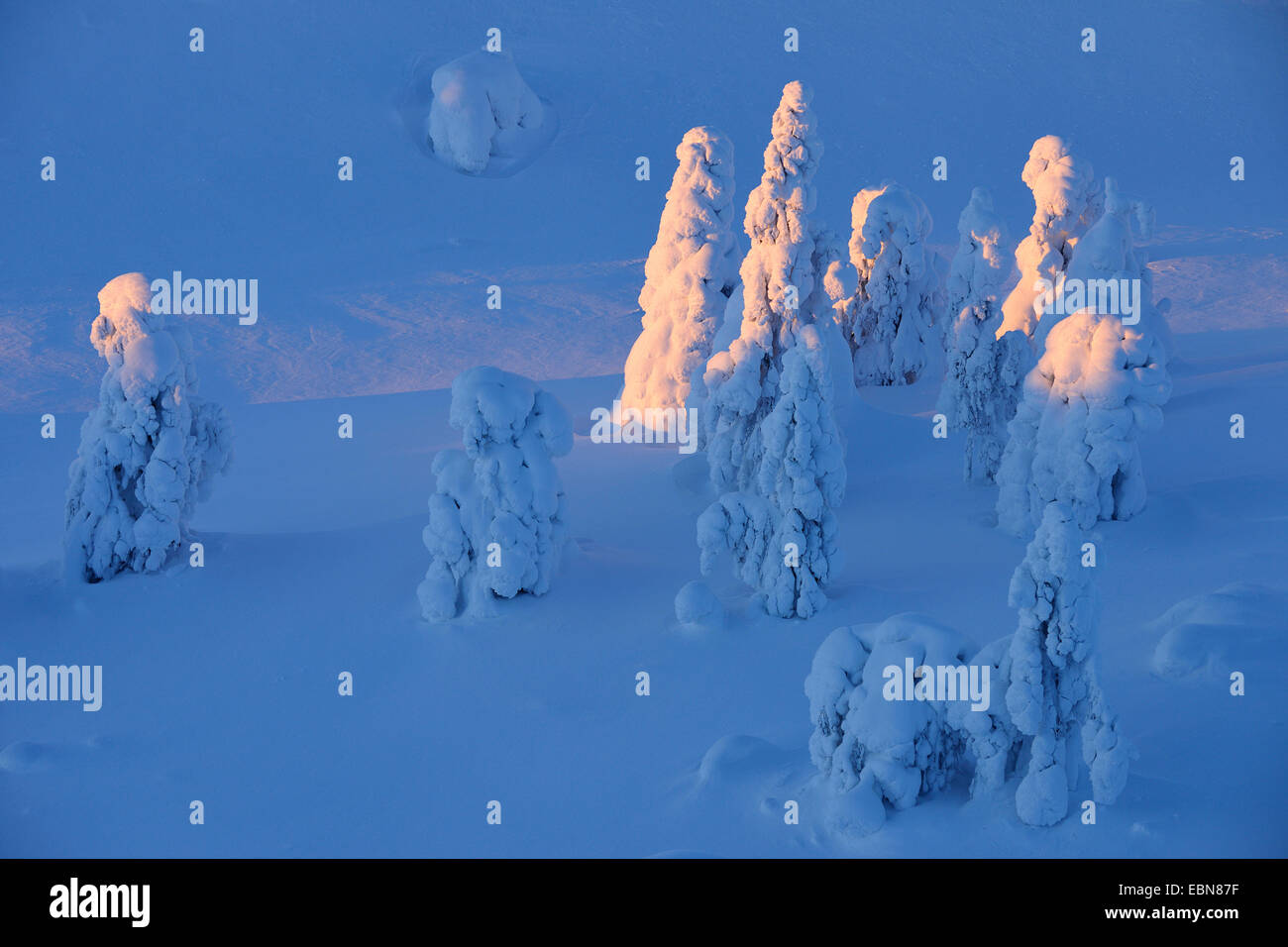 snow covered spruces, Winter, Finland, Pohjois Pohjan, Nordoesterbotten, Kuusamo - Stock Image