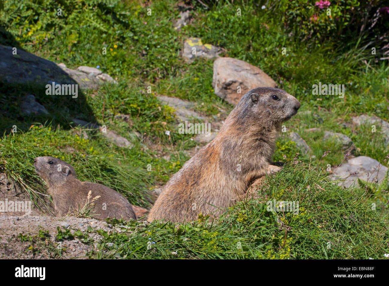 alpine marmot (Marmota marmota), marmots in front of their den, Switzerland, Valais - Stock Image