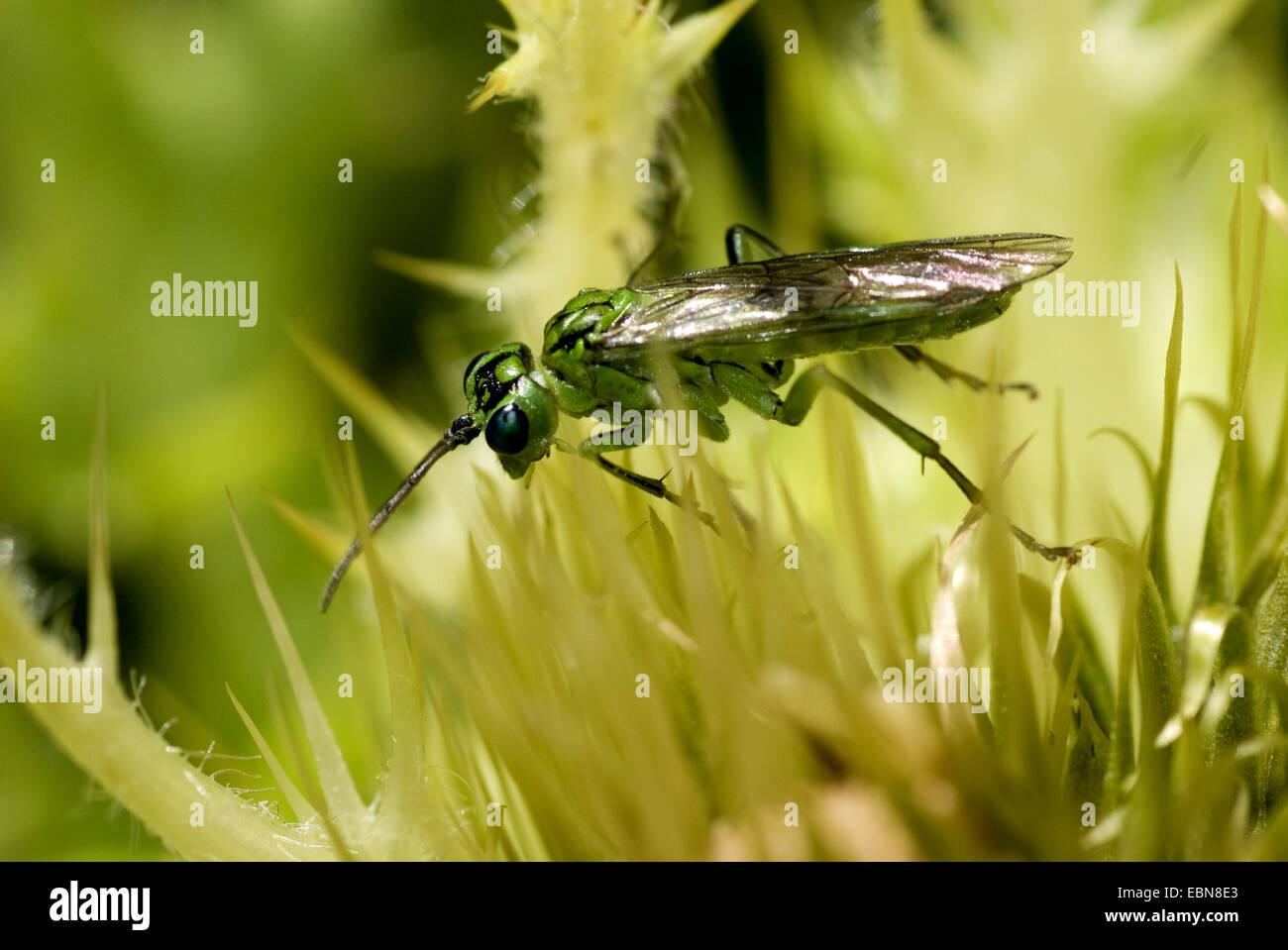 Sawfly (Tenthredo olivacea), on flower, Germany - Stock Image