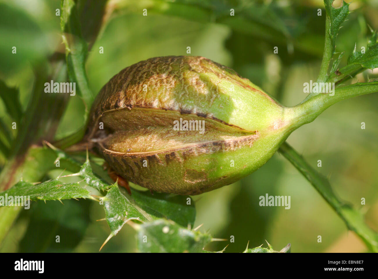 Canada thistle gall fly, Stem-gall fly (Urophora cardui), gall, Germany - Stock Image