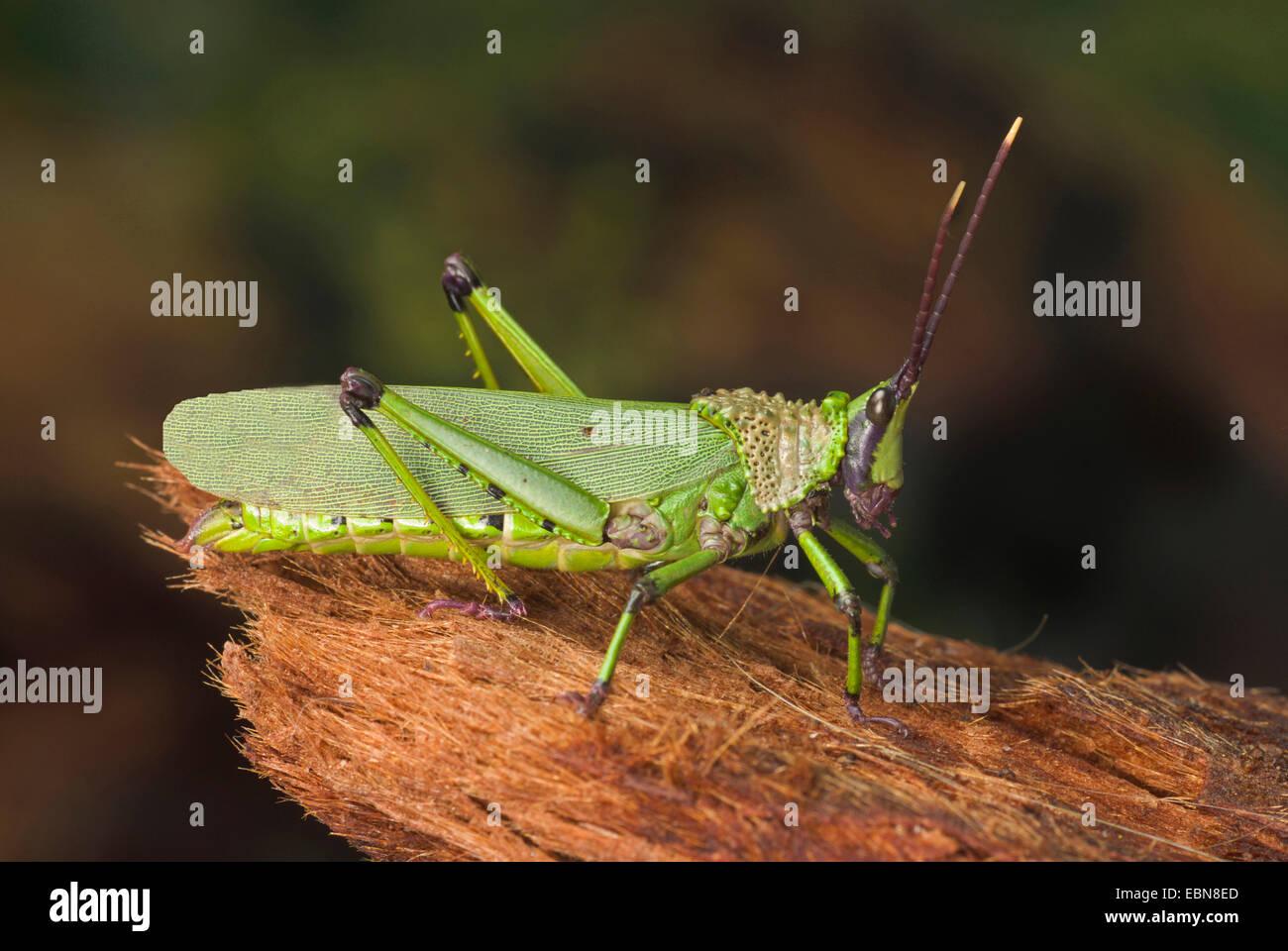 Elegant grashopper (Zonocerus spec.), breed Neon Green - Stock Image