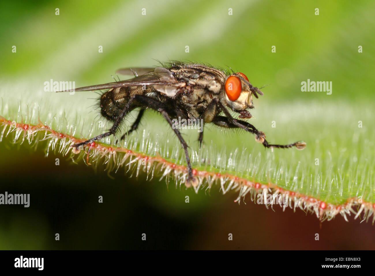 Flesh Fly (Sarcophaga spec.), sitting on a leaf - Stock Image