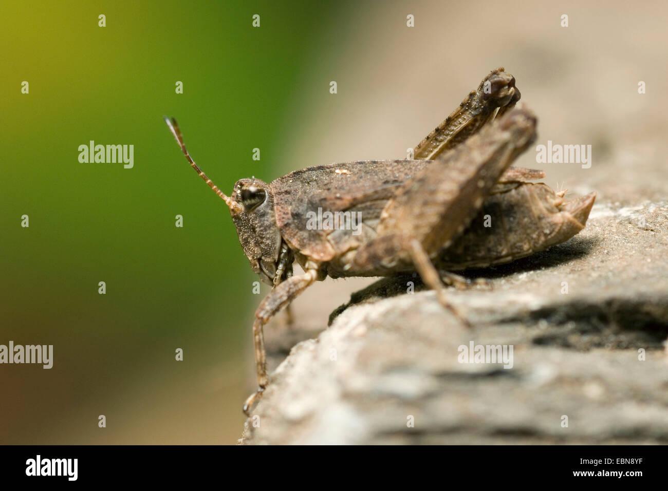 Longhorned groundhopper (Tetrix tenuicornis, Tetrix natans), sitting on a stone, Germany - Stock Image