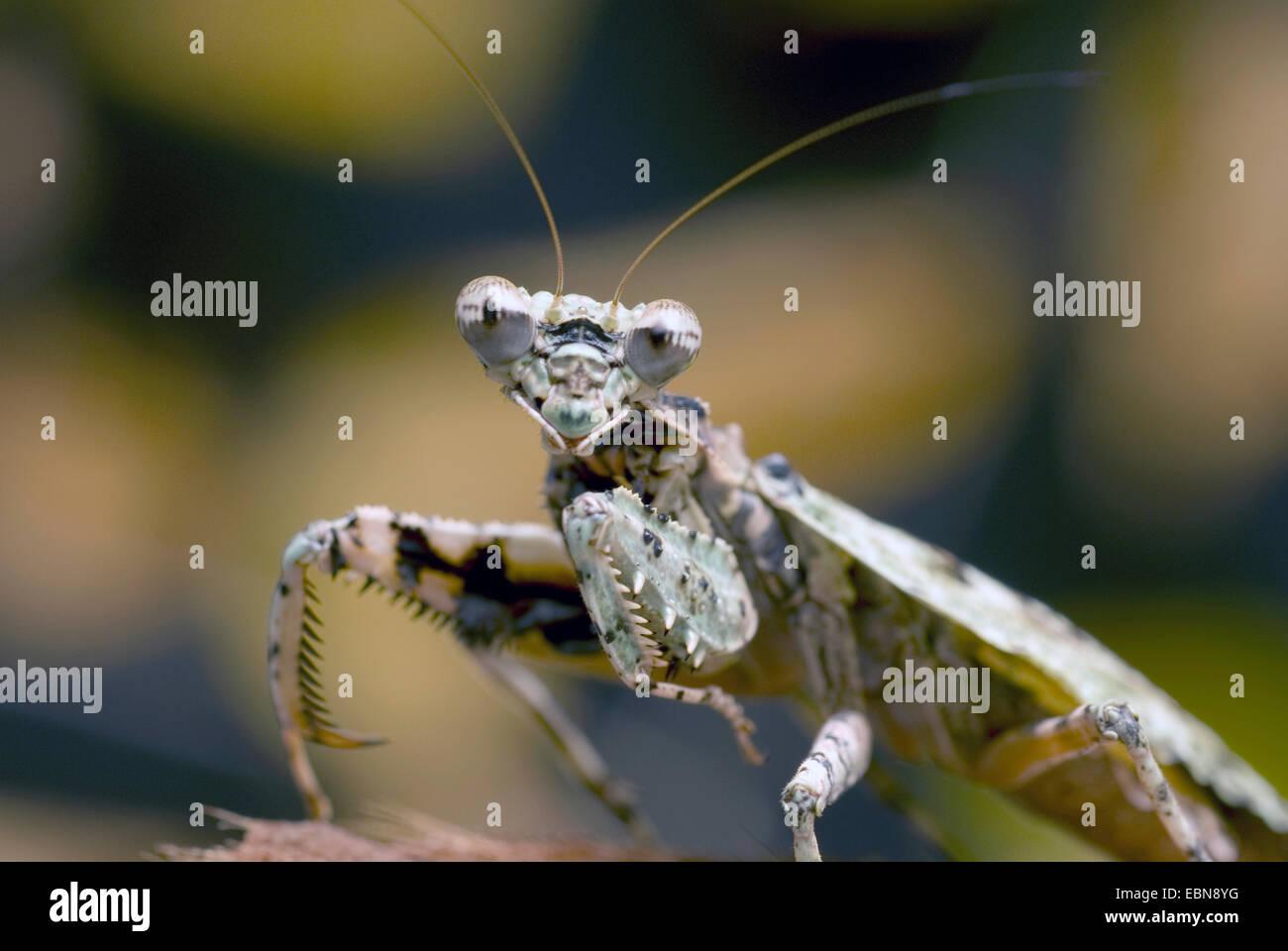 Bark Mantis (Theopompa servillei), half length portrait - Stock Image