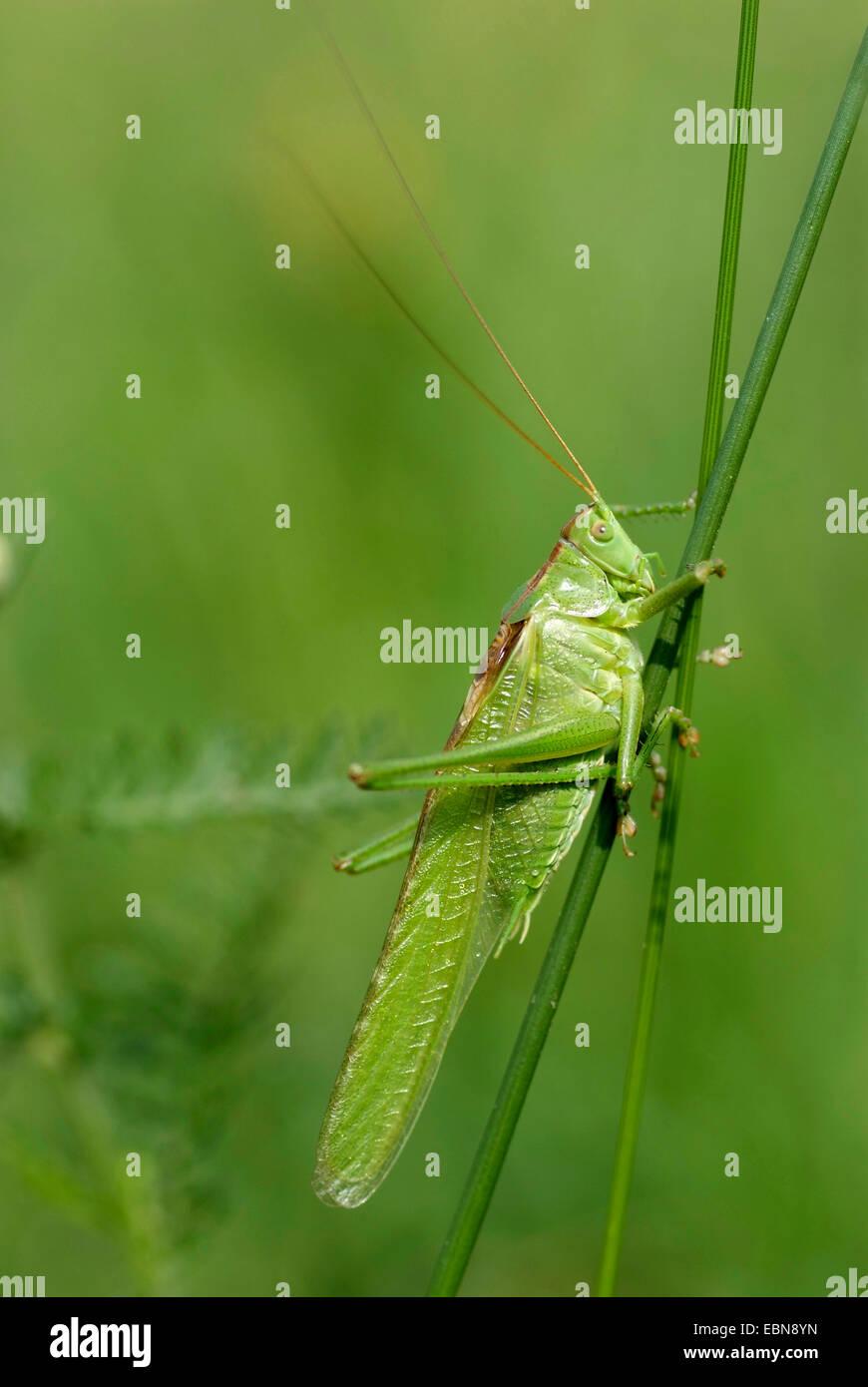 great green bushcricket (Tettigonia viridissima), sitting at a stipe, Germany - Stock Image