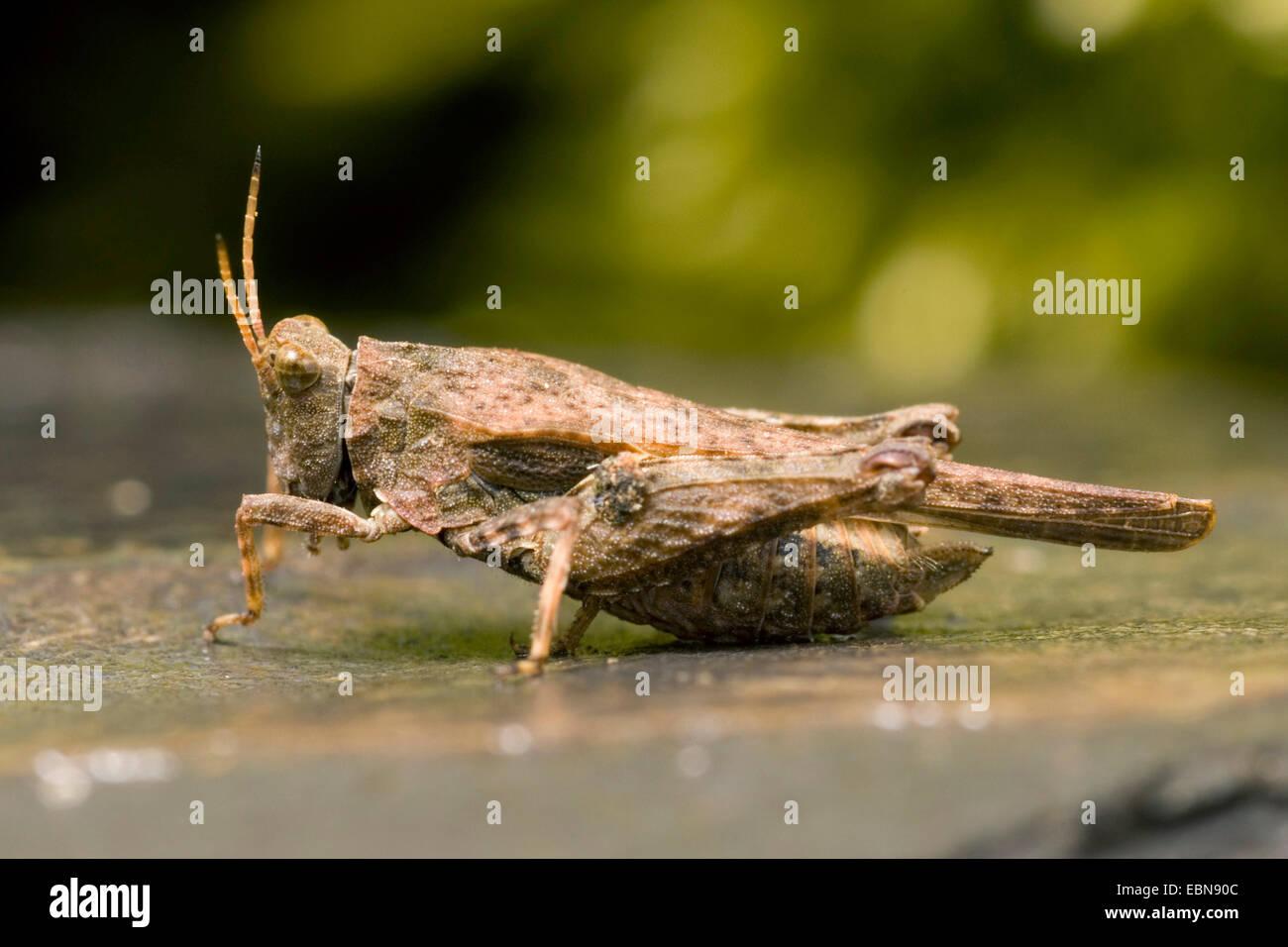 Twospotted groundhopper (Tetrix bipunctata), full length portrait, Germany - Stock Image