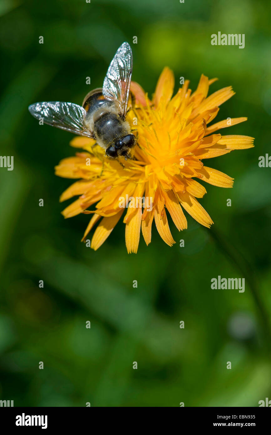 Golden Hawk's Beard (Crepis aurea), inflorescence with hoverfly, Switzerland - Stock Image