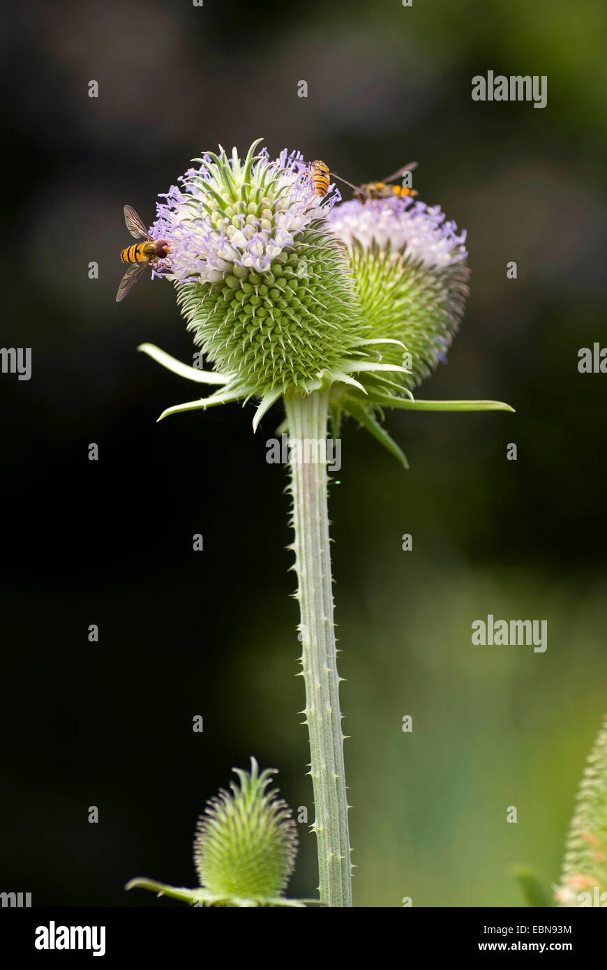 fuller's teasel (Dipsacus sativus), inflorescence - Stock Image
