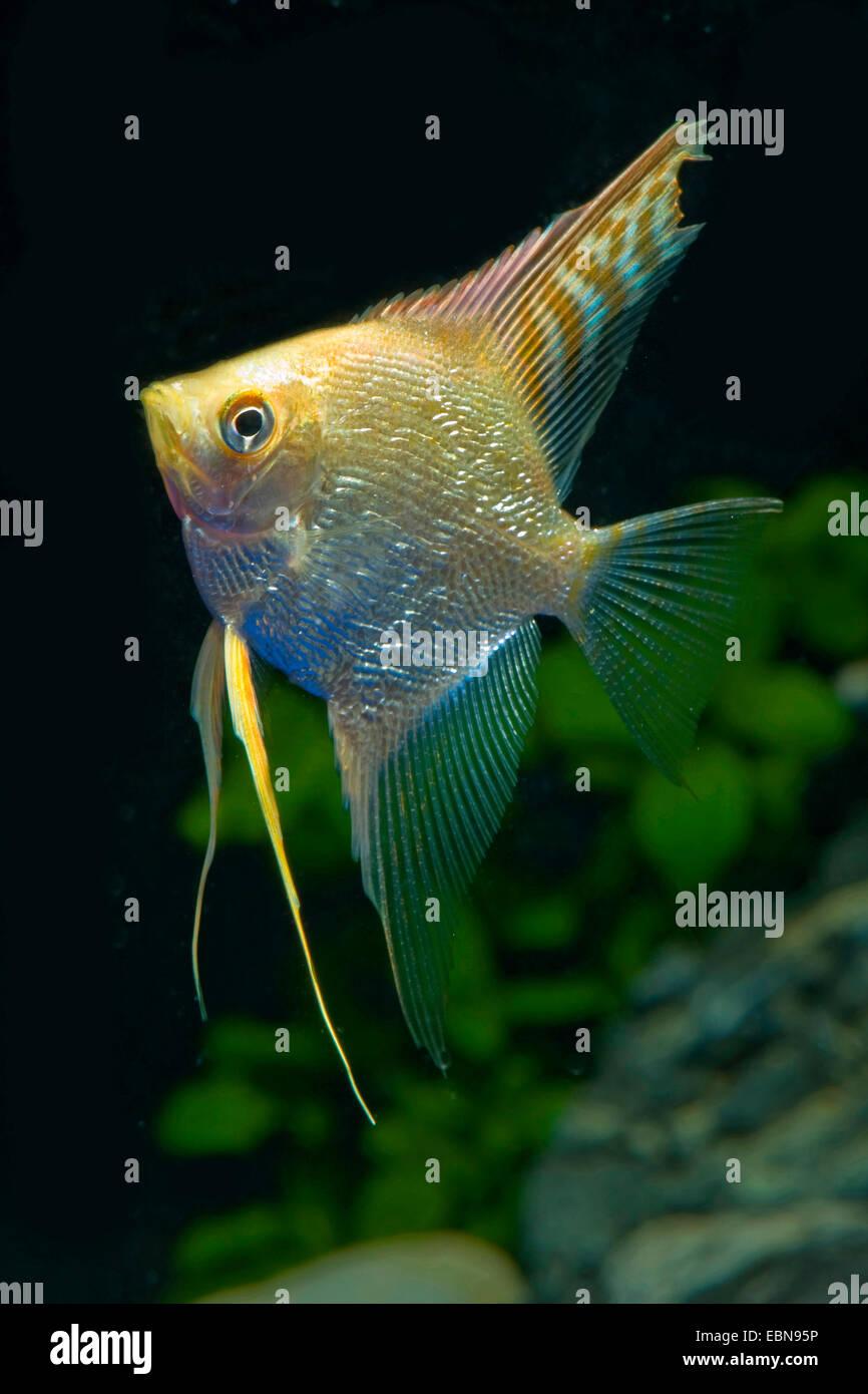 Freshwater Angelfish Longfin Angel Fish Black Angelfish Scalare Stock Photo Alamy