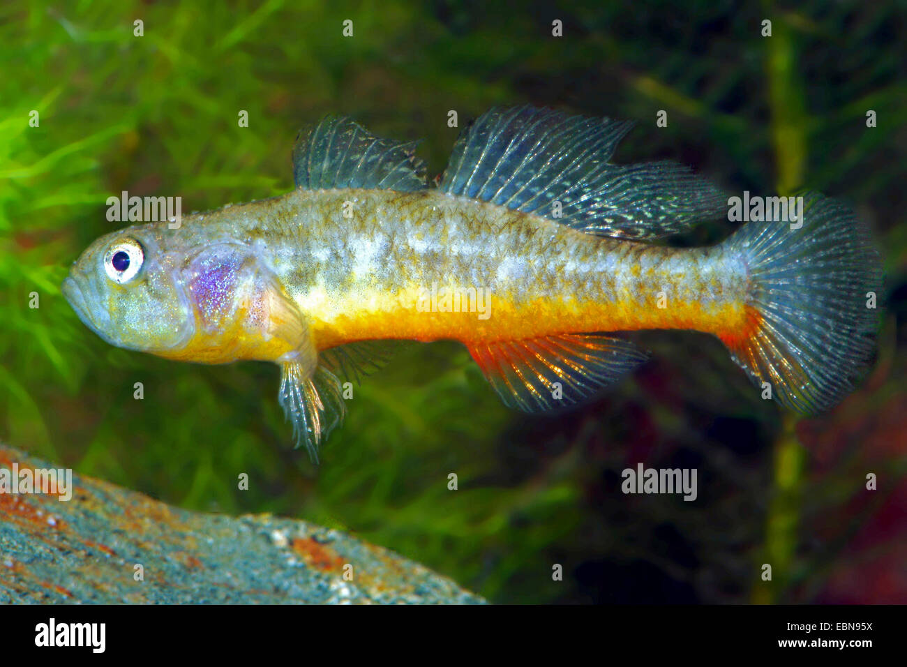 Swinhonis Schlaefergrundel (Micropercops swinhonis), swimming - Stock Image