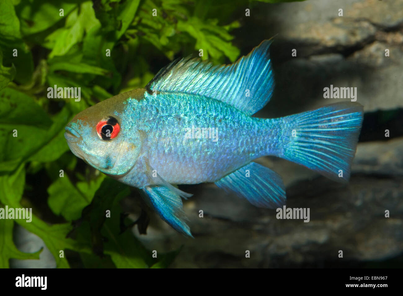 South American butterfly dwarf Cichlid (Mikrogeophagus ramirezi), breed blue - Stock Image