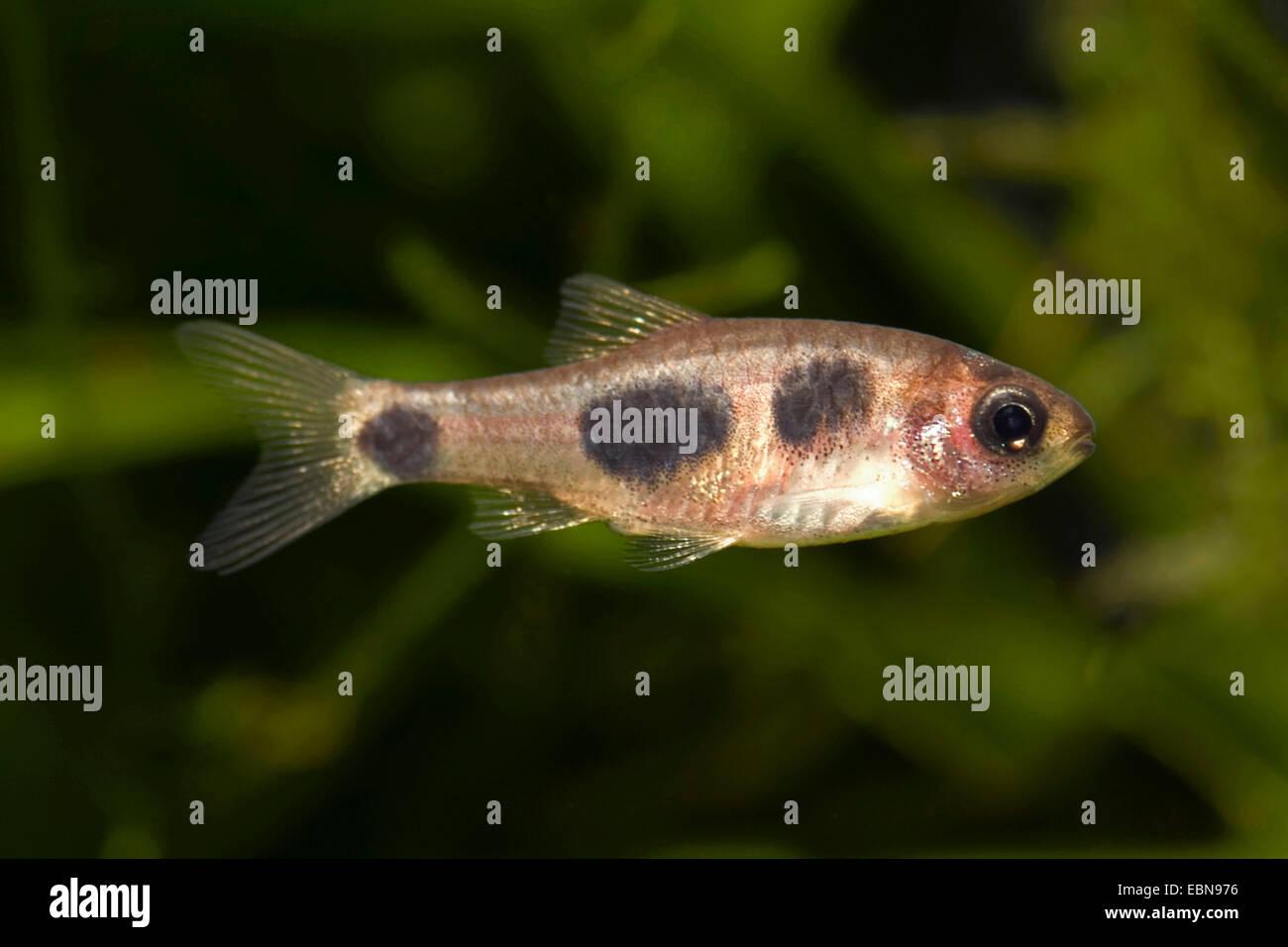 Butterfly barb (Barbus hulstaerti), swimming - Stock Image