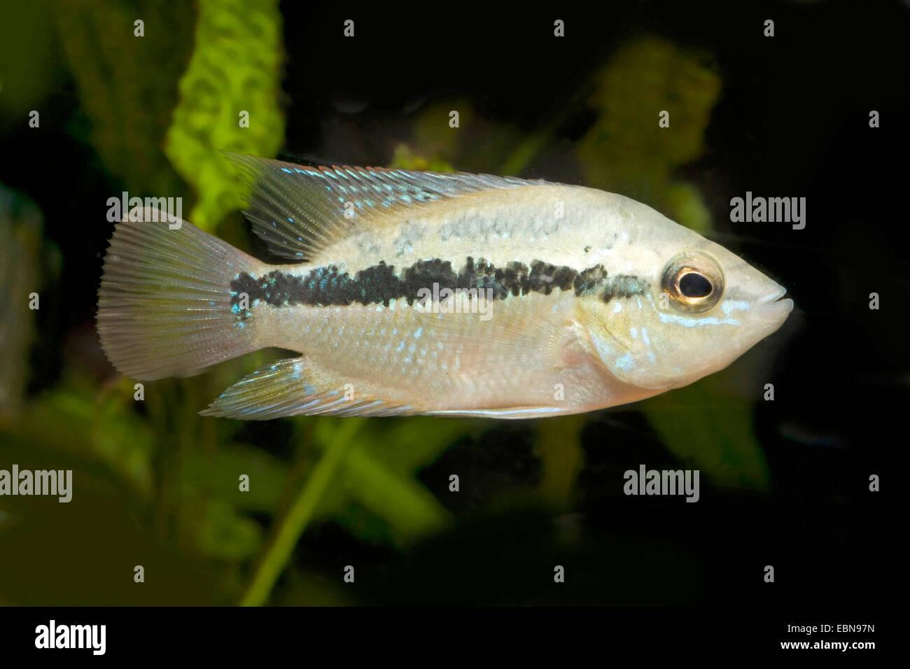 Salvin's Cichlid, Yellow Belly (Cichlasoma salvini, Nandopsis salvini), swimming - Stock Image