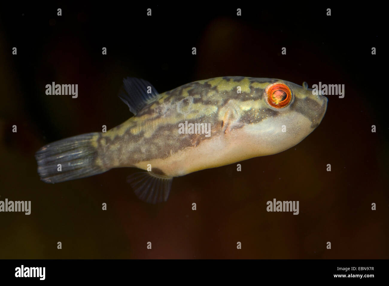 Red tailed Red eye puffer, Crested Puffer (Carinotetraodon irrubesco), swimming - Stock Image
