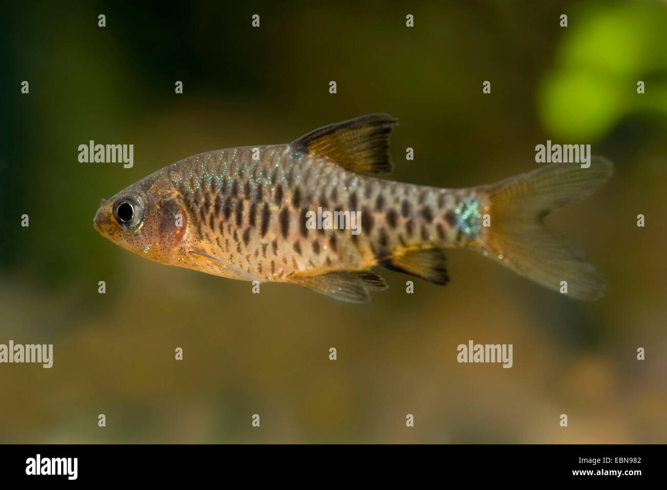 Checkered barb, Checkerboard, Island barb (Puntius oligolepis, Barbus oligolepis), swimming - Stock Image
