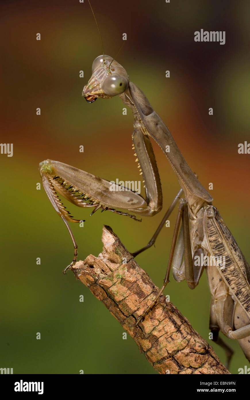 Giant Mantid (Polyspilota aeruginosa), on a branch - Stock Image