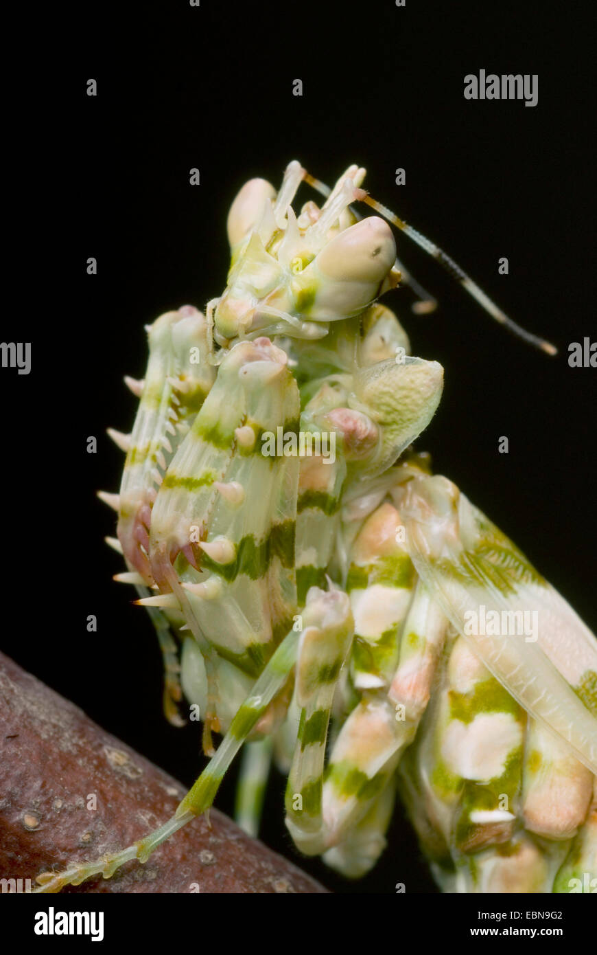 Wahlbergi's Spiny Flower Mantis, Wahlbergis Spiny Flower Mantis (Pseudocreobotra wahlbergi), portrait - Stock Image