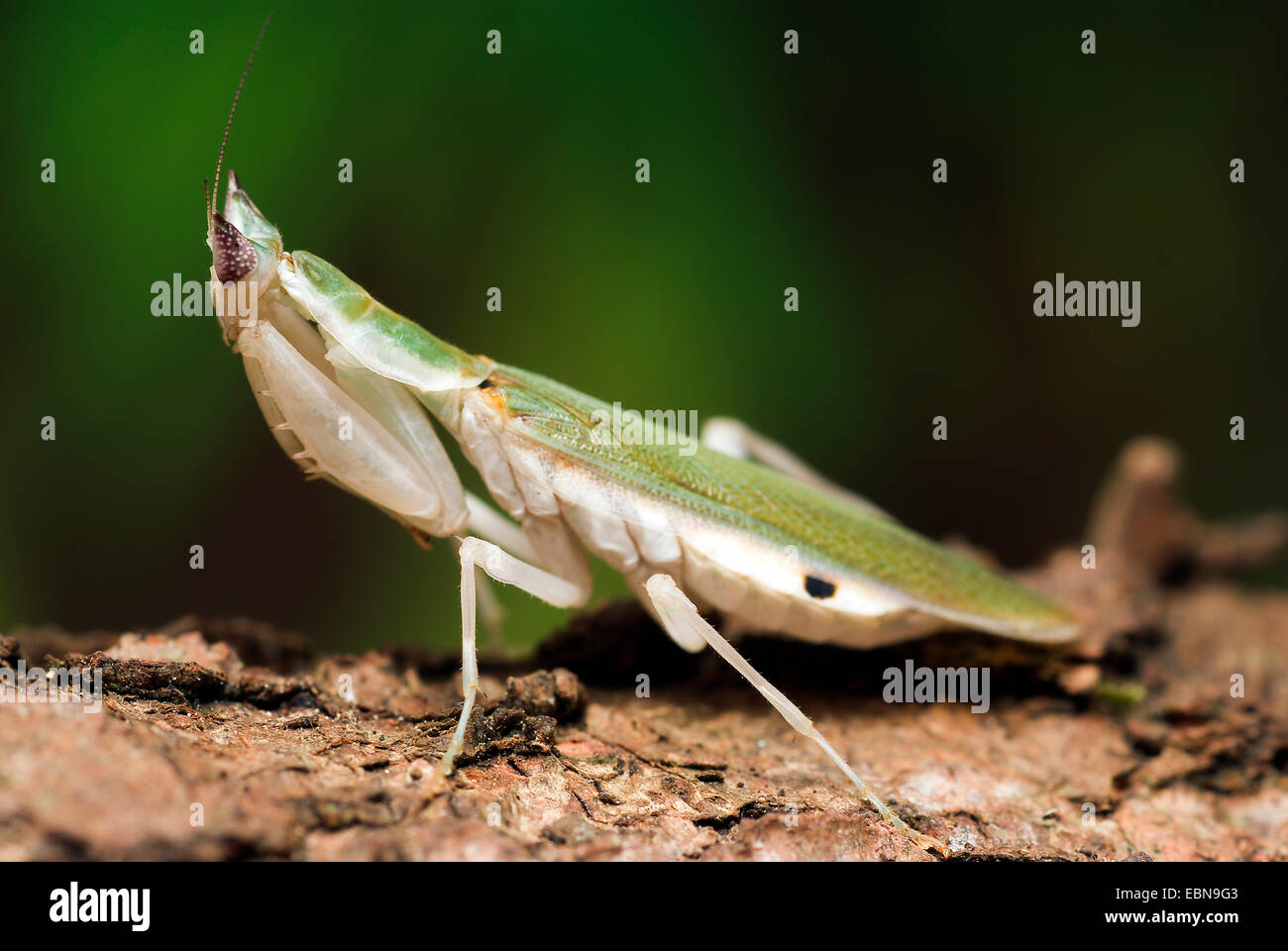 Gambian Spotted-eye Flower Mantis (Pseudoharpax virescens), female - Stock Image