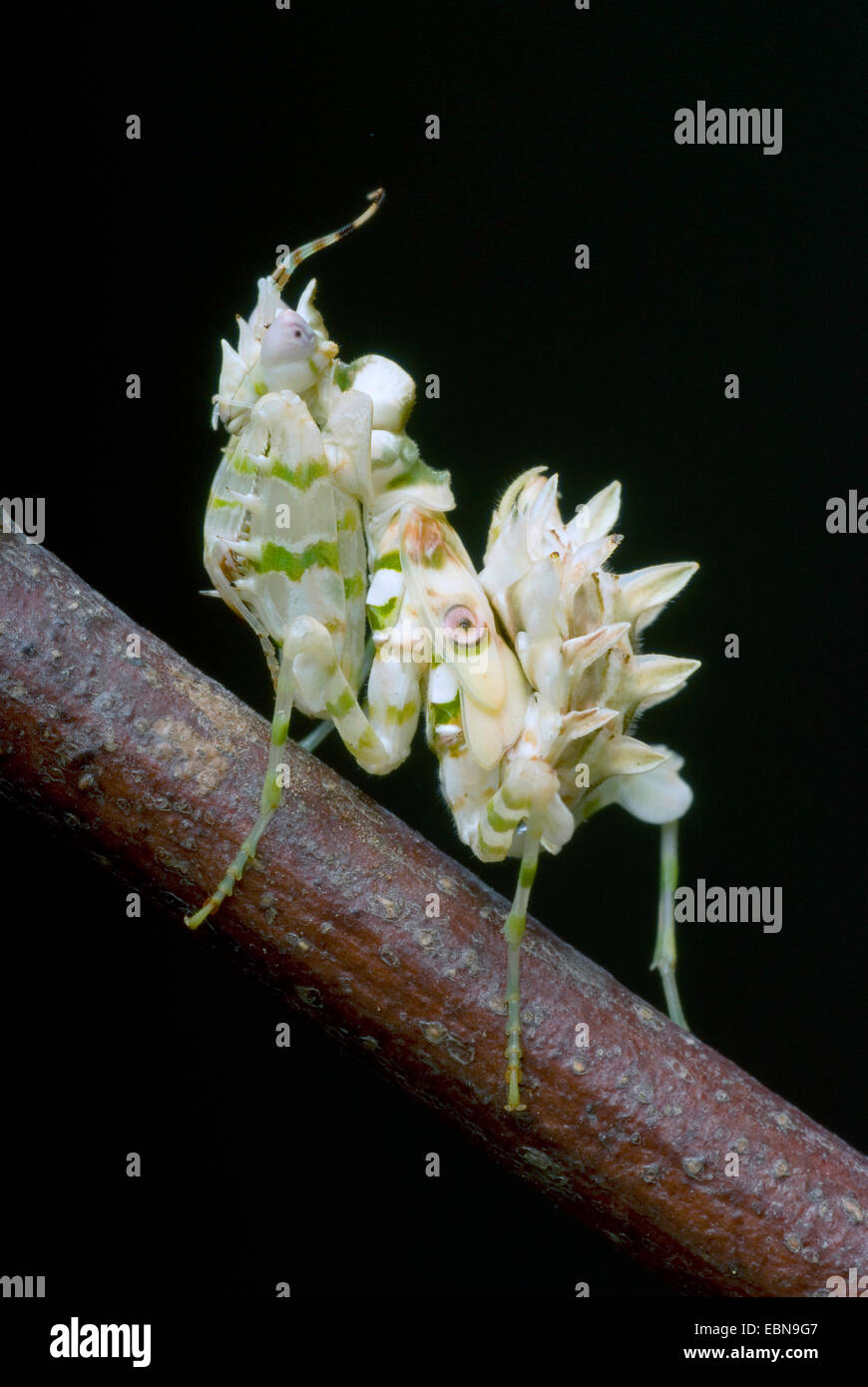 Wahlbergi's Spiny Flower Mantis, Wahlbergis Spiny Flower Mantis (Pseudocreobotra wahlbergi), on a branch - Stock Image