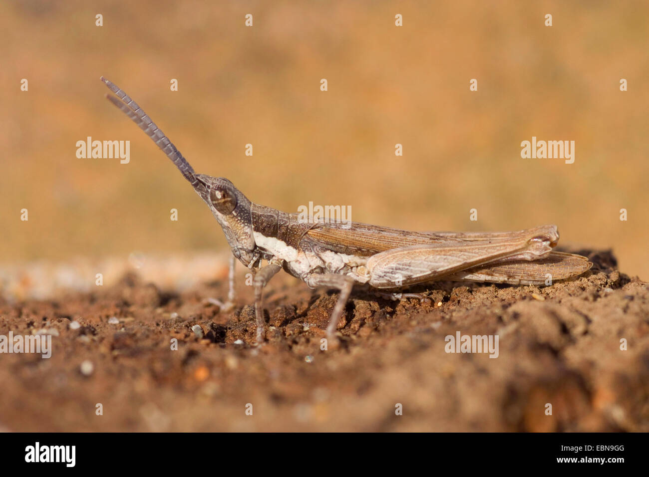 Grasshopper (Pyrgomorpha conica), full length portrait, Portugal - Stock Image