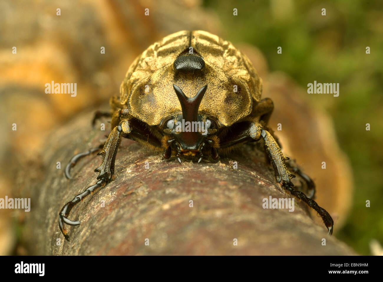Pfeiffer's rhinoceros beetle, Pfeiffer's horned beetle (Trypoxylus pfeifferi, Allomyrina pfeifferi), front view Stock Photo