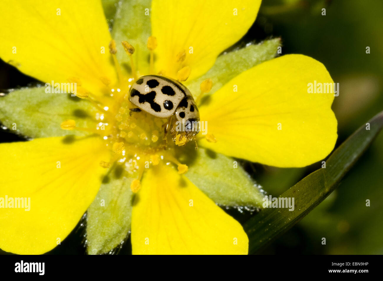 Sixteen-spot ladybird, 16-Spot Ladybird (Tytthaspis sedecimpunctata), on Alpine Cinquefoil, Potentilla verna - Stock Image