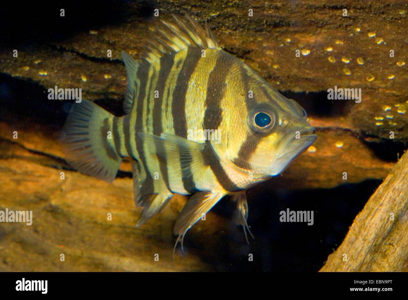 Indian Tidal Tigerperch, Four barred Tiger fish (Datnioides quadrifasciatus, Coius quadrifasciatus), swimming - Stock Image