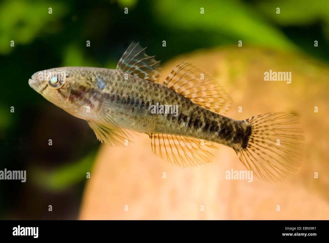 Brackish water fish stock photos brackish water fish for Brackish water fish