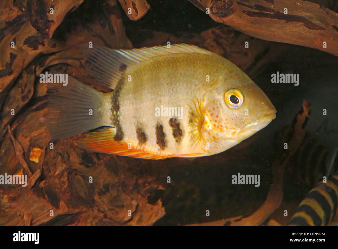Eye-spot Cichlid (Heros cf. efasciatus), swimming - Stock Image
