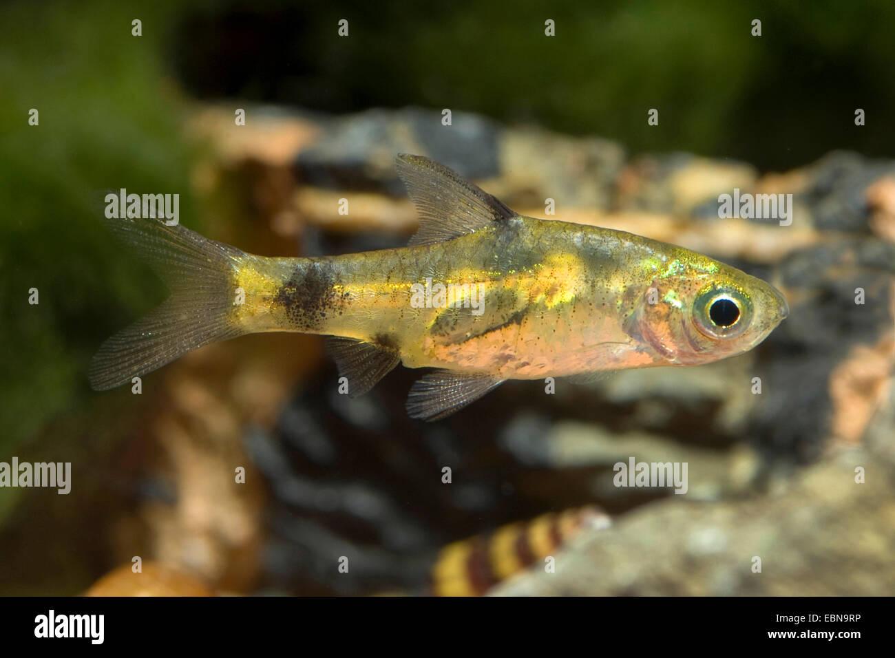 Golden dwarf barb (Barbus gelius), swimming - Stock Image