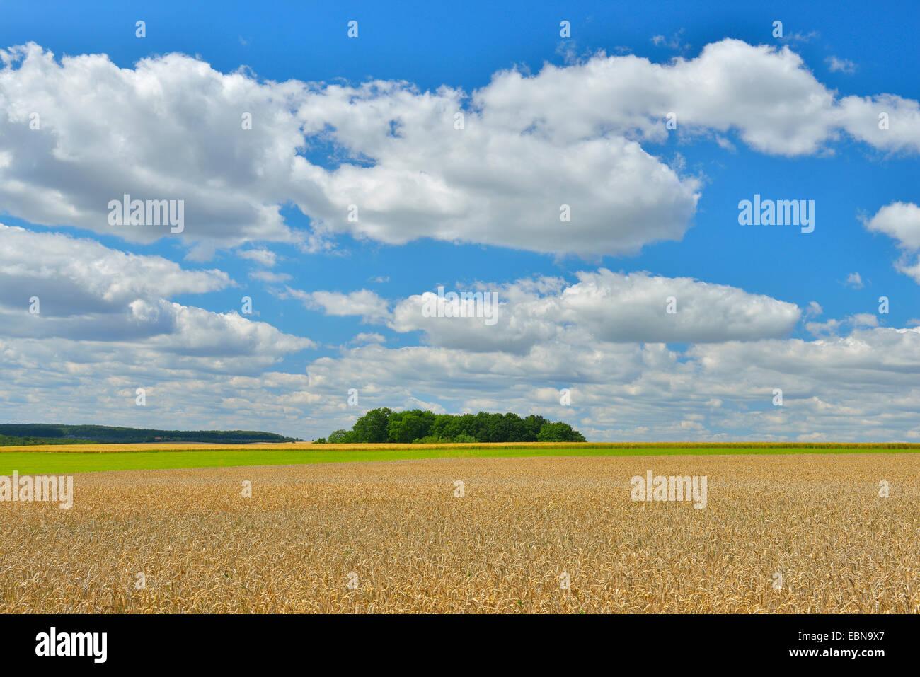 wheat field  in the summer, Germany, Bavaria, Franken, Franconia, Arnstein - Stock Image