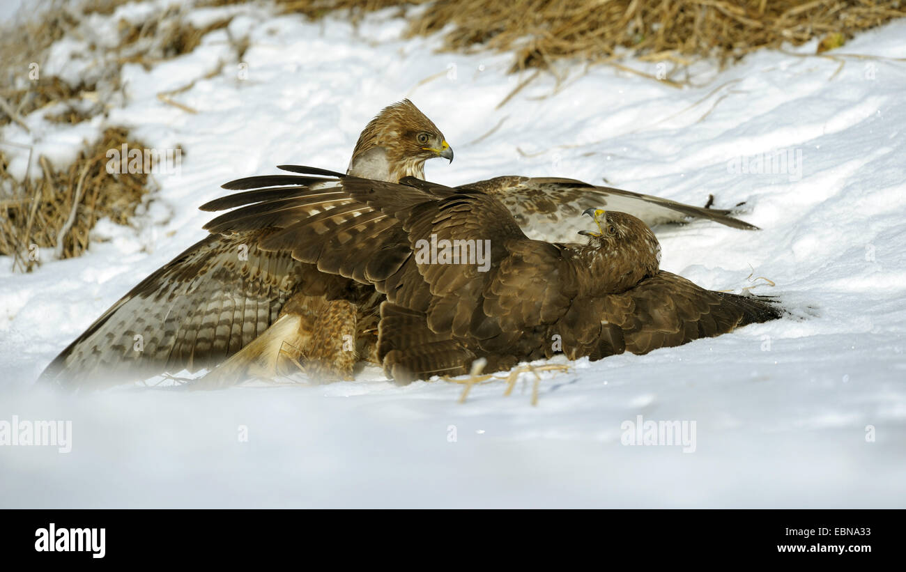 Eurasian buzzard (Buteo buteo), conflicting buzzards in snowy landscape at the bait place, Germany, Baden-Wuerttemberg - Stock Image