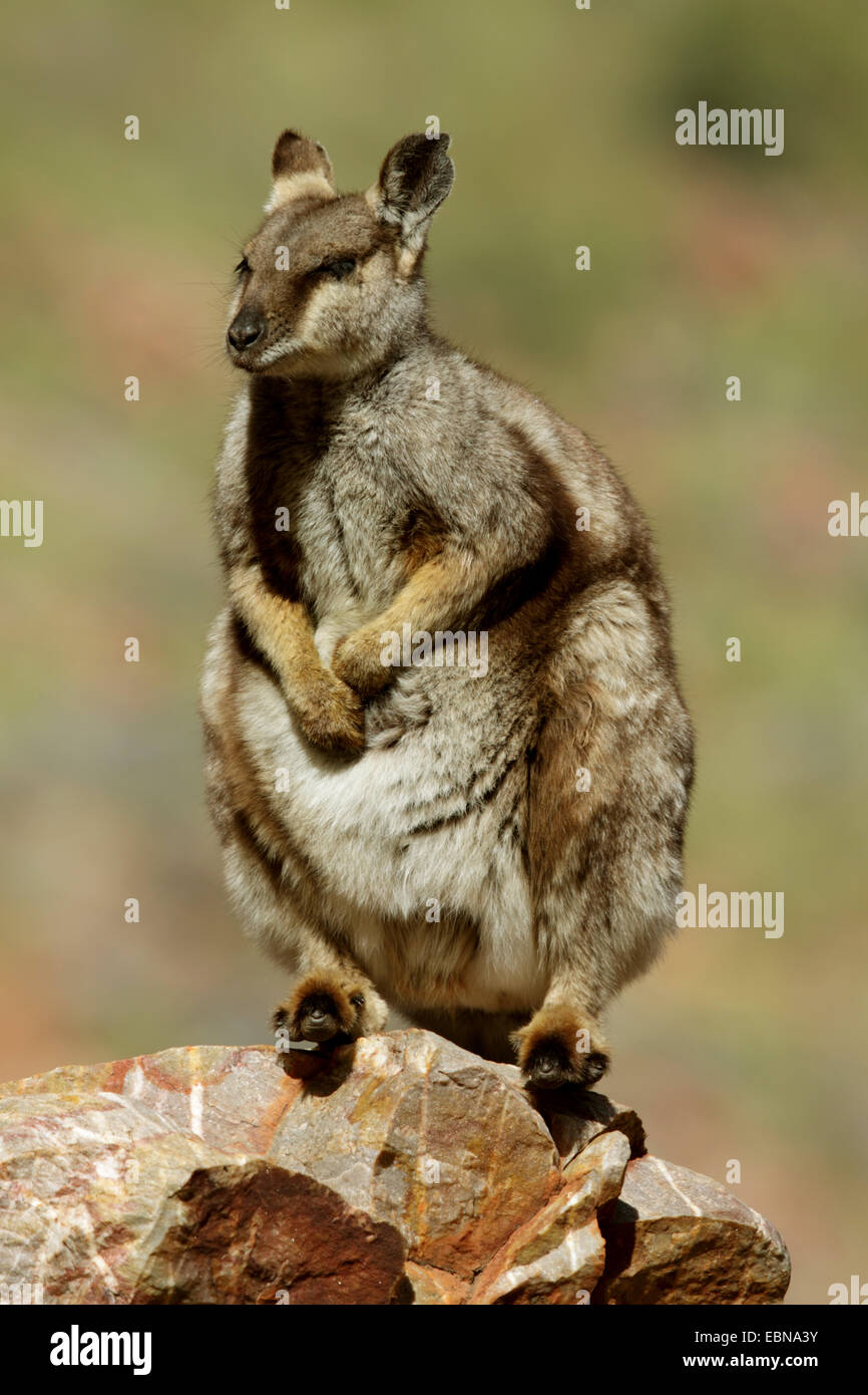 Black-footed rock wallaby (Petrogale lateralis), sitting on a rock, Australia, Northern Territory, Western MacDonnell - Stock Image