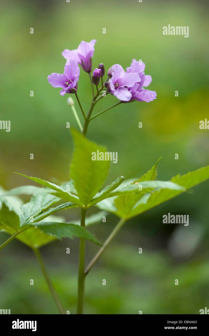 Showy toothwort (Cardamine pentaphyllos), flowering, Germany - Stock Image