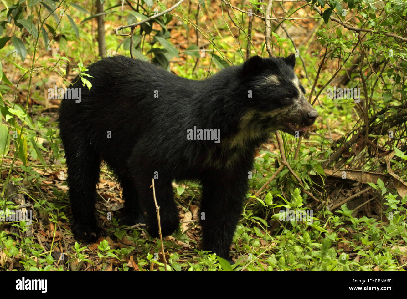 Spectacled bear, Andean bear (Tremarctos ornatus), walking in the forest, Peru, Lambayeque, Reserva Chaparri Stock Photo
